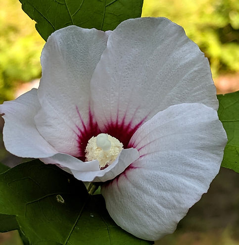 white rose of sharon (2).jpg