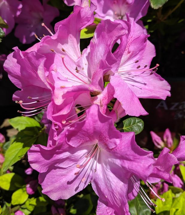 azalea blooming beauties
