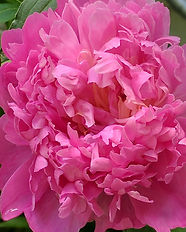 pink peony Divine Mother's love