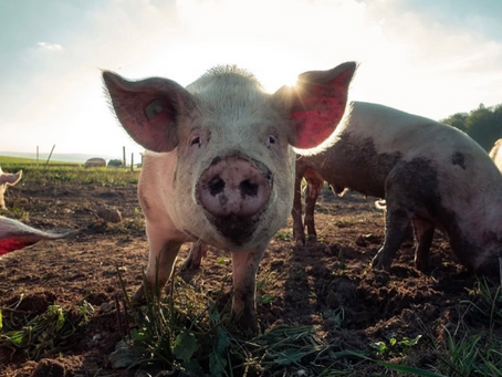 10 Fun Facts About Pigs