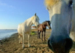 White horses in the Camargue