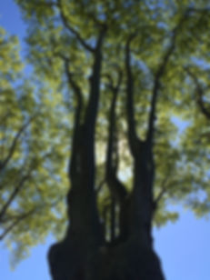 Very tall platin trees.