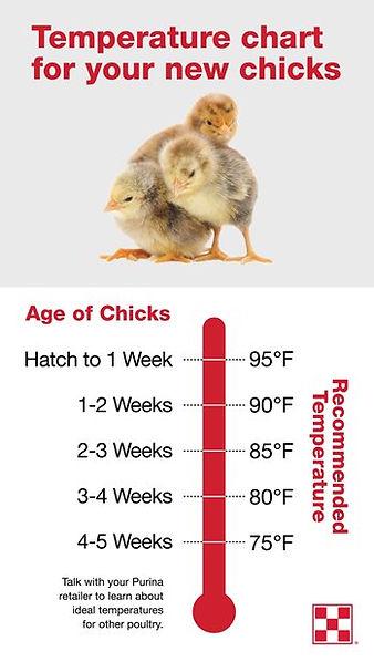 PurinaFlock_Chick-Temperature-Infographi