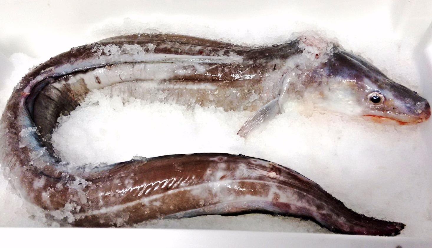 Conger Eel £3.30kg
