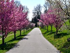 Hanami, la fête des cerisiers en fleurs