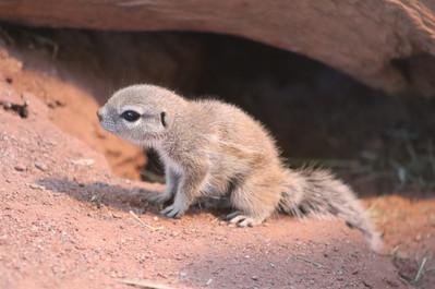 Borstenhörnchen.jpg