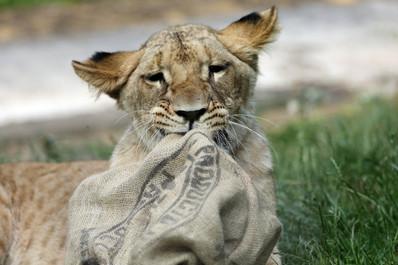 Löwen 2.jpg