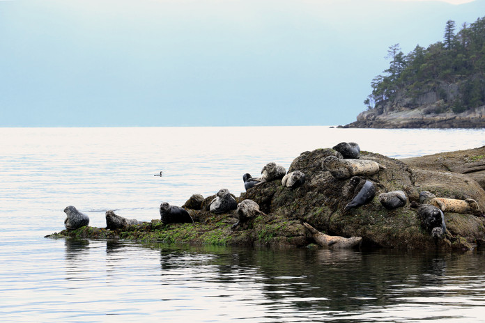 Salish Seals, Sechelt B.C. Canada