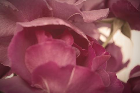 Rose - Kinship Collage