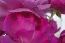 Papa's Rose