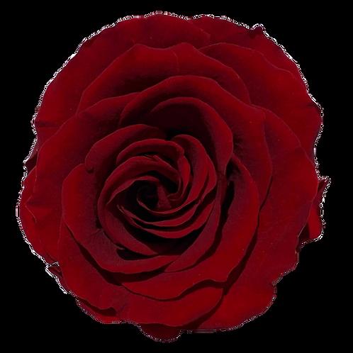 ROSE STABILISÉE 63MM - ROUGE BUGUNDY (x6)