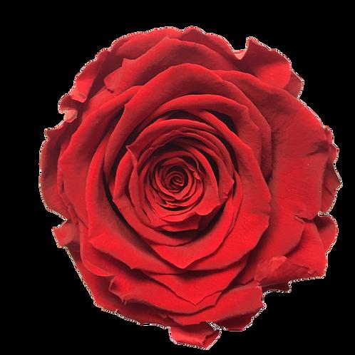 ROSE STABILISÉE 63MM - ROUGE (x6)