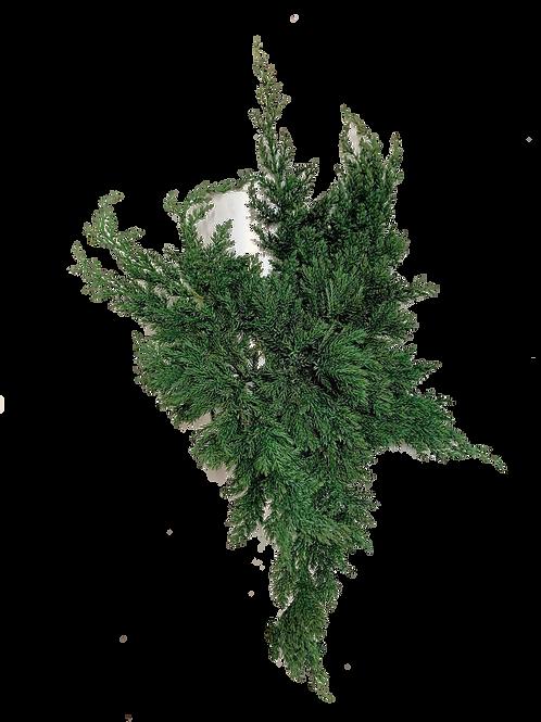 JUNIPERUS STABILISÉ (BRANCHE x1)