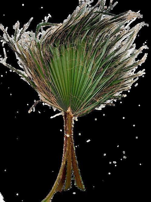 PALME WASHINGTONIA STABILISÉ (x1)