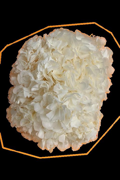 HORTENSIA STABILISÉ BLANC CRÈME (x1)