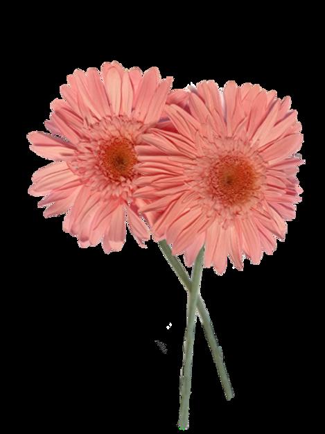 GERBERA STABILISÉ SUR TIGE ROSE CLAIR DIY* (x4)
