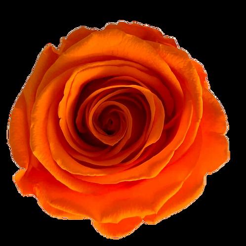 ROSE STABILISÉE 63MM - ORANGE(x6)