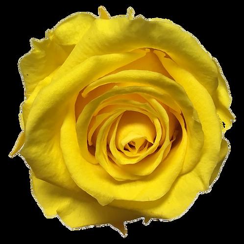 ROSE STABILISÉE 63MM - JAUNE (x6)