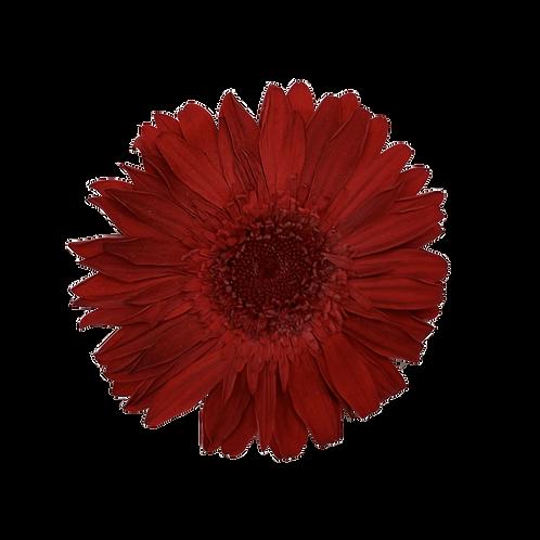 GERBERA STABILISE ROUGE (x4)