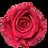 Thumbnail: ROSE STABILISÉE 63MM - ROSE (x6)
