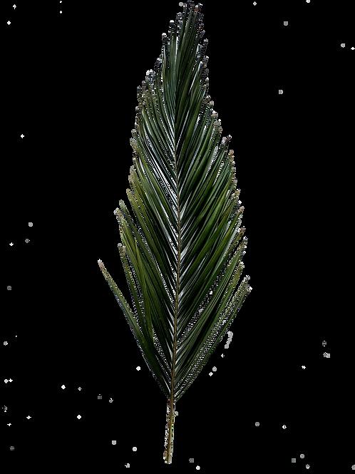 PALME PHOENIX STABILISÉ (x1)