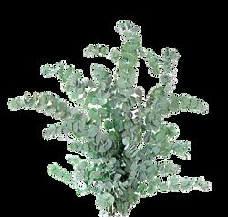 eucalyptus_stabilisé_végétal_indoor_copie_edited