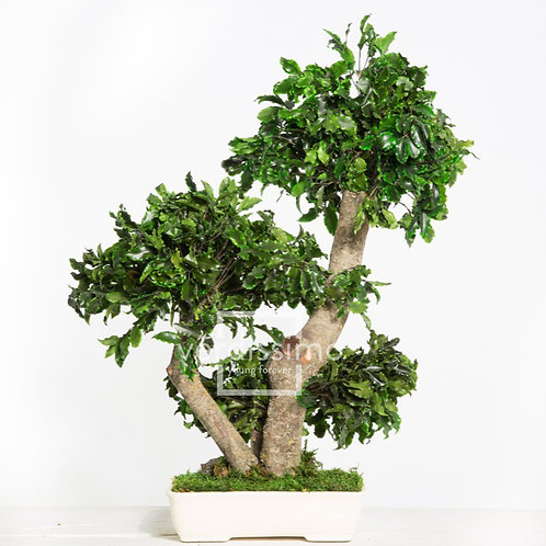 BONSAÏ PITTOSPORUM MOYEN