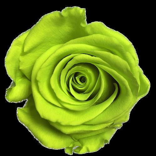 ROSE STABILISÉE 63MM - VERTE LIME (x6)