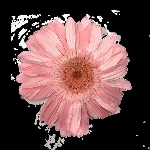 GERBERA STABILISE ROSE CLAIR (x4)