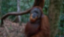 Sumatra Orangutang jungle