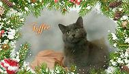 Toffee-Kitten for Adoption in Williamsport, MD