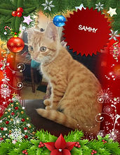 Sammy- Kitten for Adoption in Williamsport, MD