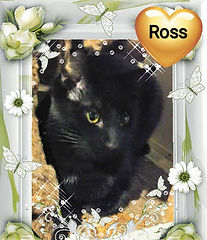 Ross - Kitten for Adoption in Williamsport, MD