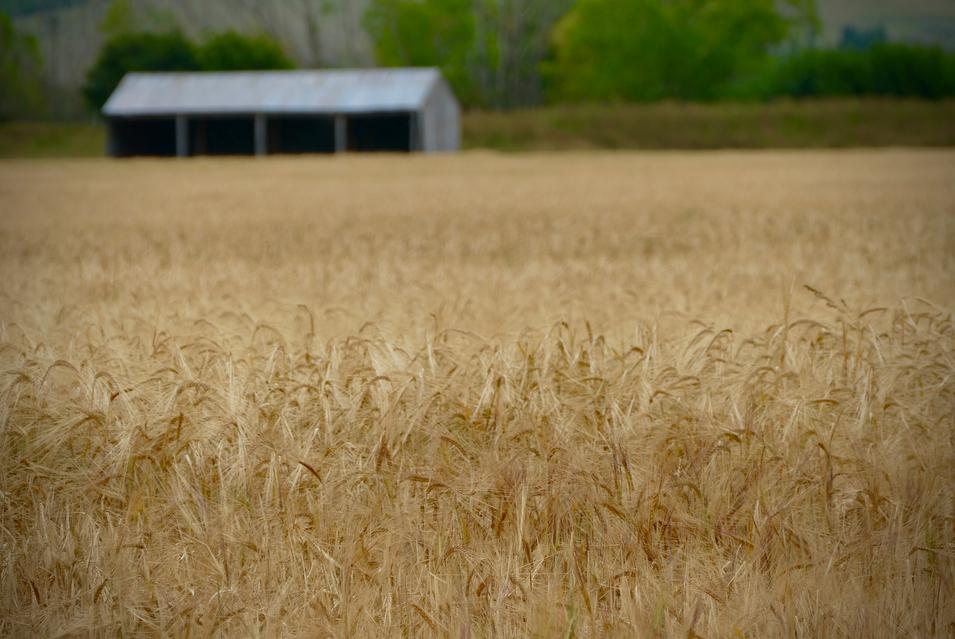 Wheat Field Southland NZ