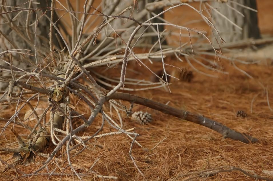 Autum Pines