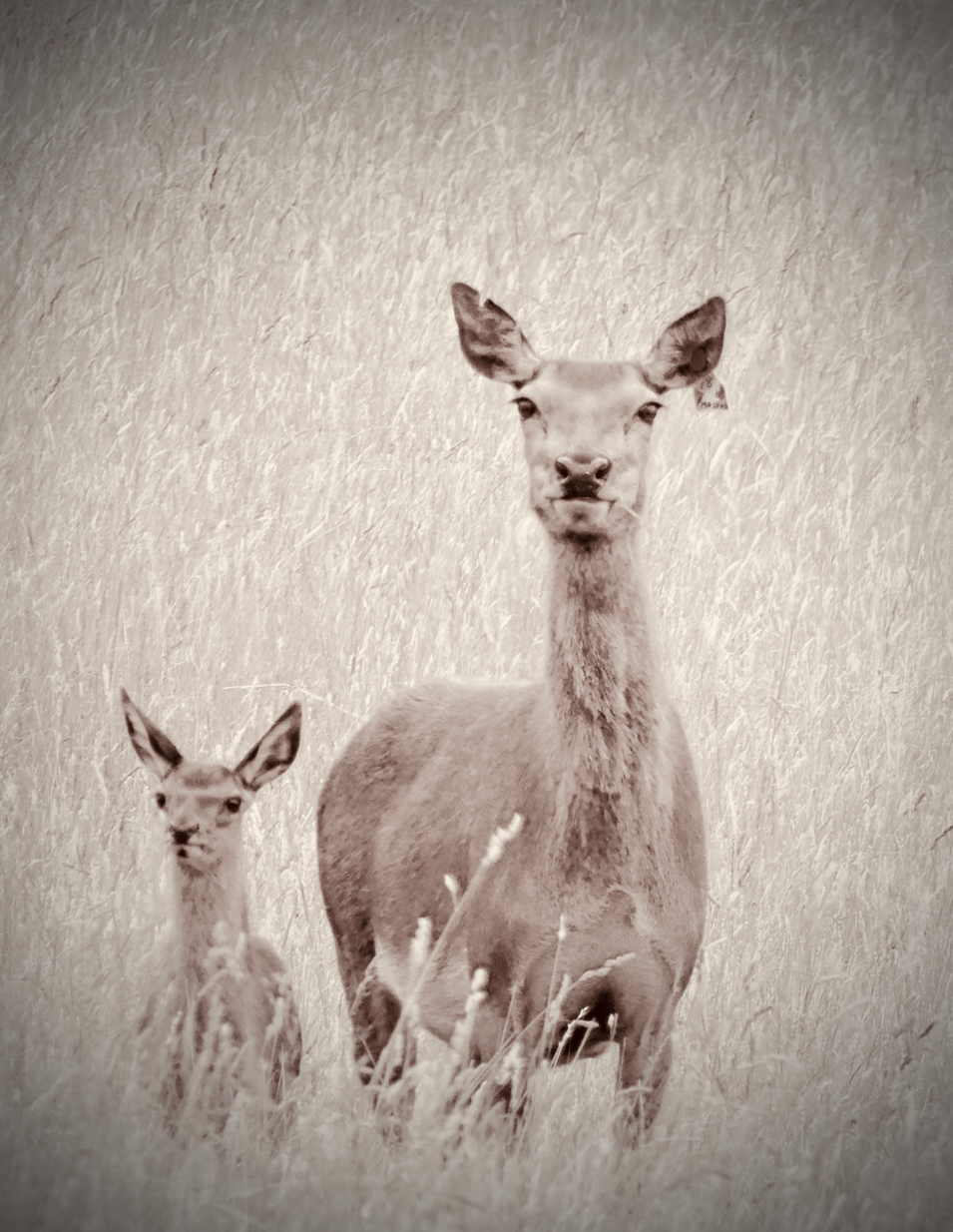 Mother deer and fawn in sepia