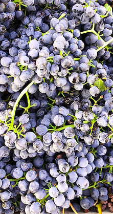 shiraz grapes.jpg