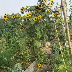 Sunflowers from Lower Garden