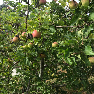 Apples in the Lower Garden