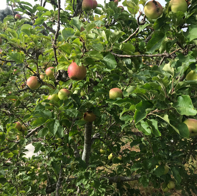Apples in the Lower Garden