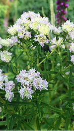 Mountain Mint.jpg