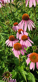 Purple coneflower (Echinacea purpurea).j