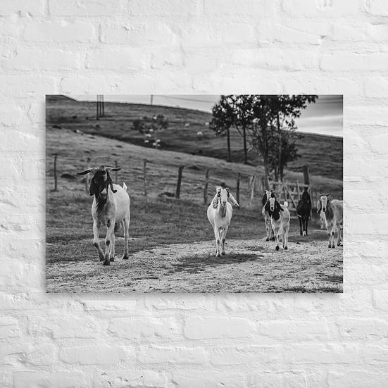 Cabras #2 - Canvas