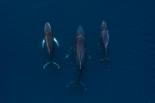 9 - Humback whales by Filip Kulisev.jpg