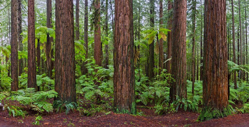 122x62_cm_the_redwoods,_nz_0m4a0781_pano