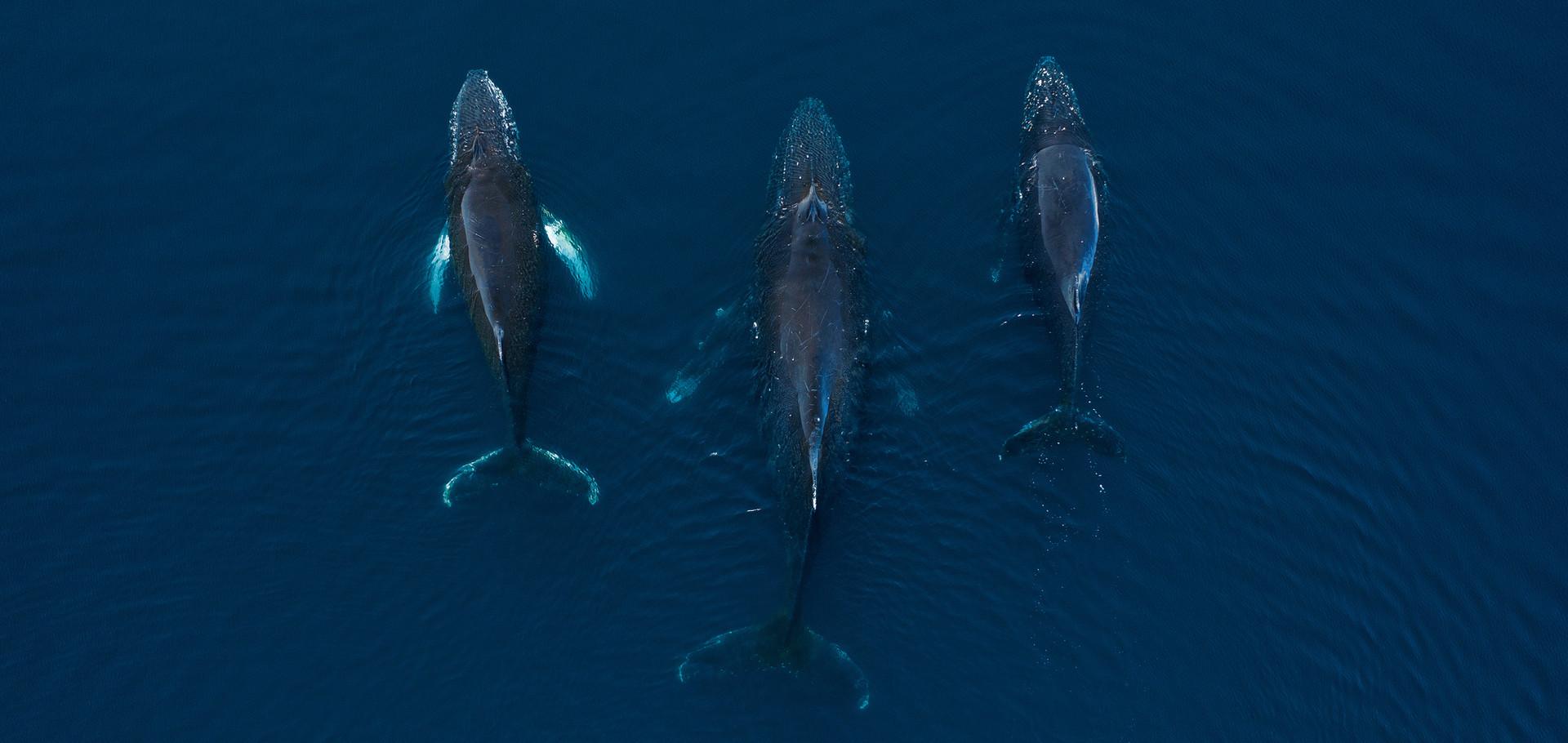 Humpback whales in Antarctica.jpg