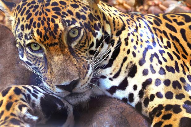 jaguar_50_x_75_20101105_101154.jpg
