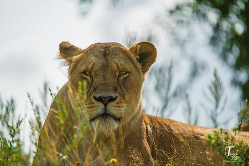 Løvemor