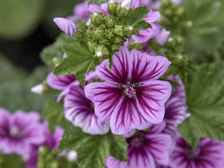 Herb your enthusiasm: Kaasjeskruid