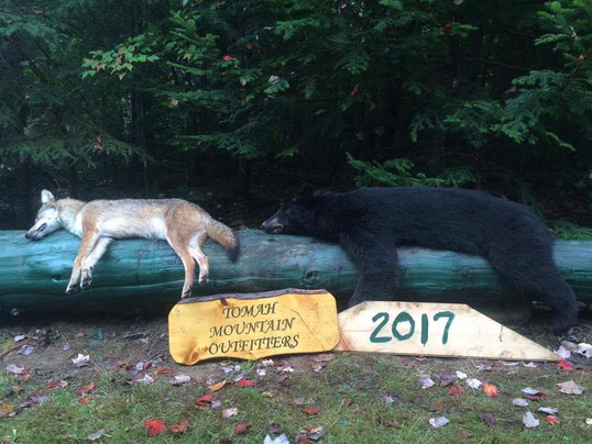Coyote and Bear 2017